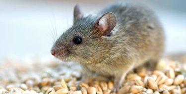 muizenbestrijding muizen in huis bestrijden
