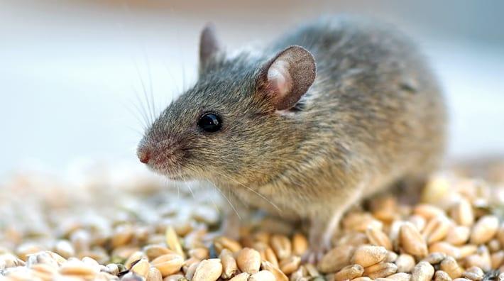 muizen in huis bestrijden: hoe vang & verjaag je huismuizen, Gartenarbeit ideen