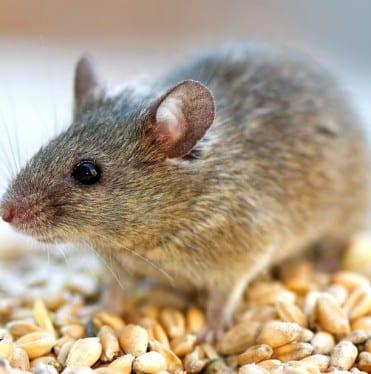 Muizen in huis bestrijden hoe vang verjaag je huismuizen - Hoe je je huis regelt ...