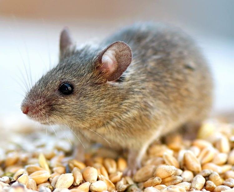 Hoe voorkom je muizen in huis