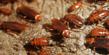 Kakkerlak-bestrijding: Hoe kun je kakkerlakken in huis bestrijden?