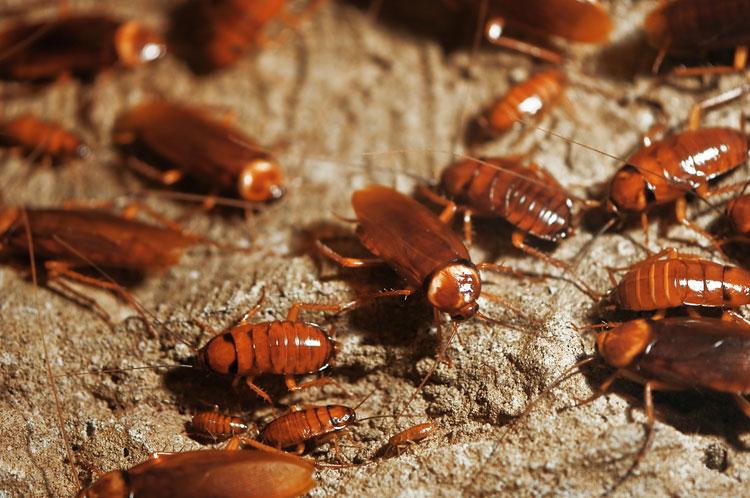 Kakkerlak Bestrijding Hoe Kun Je Kakkerlakken In Huis