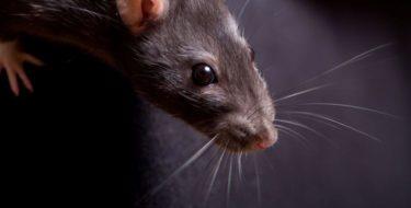Ratten in huis – Bestrijding van rattennest & rattenplaag!