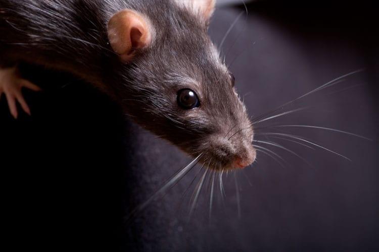 Ratten In Huis Bestrijding Van Rattennest Rattenplaag
