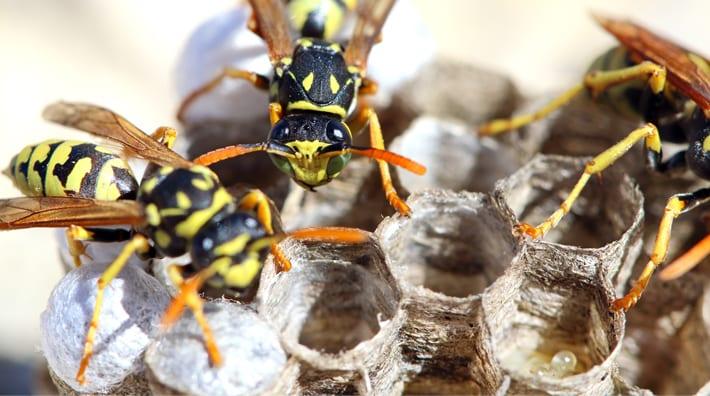 wespenbestrijding wespennest
