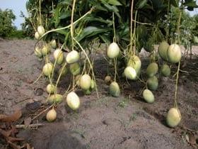 afrikaanse-mango