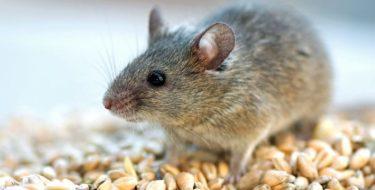 Ongedierte in huis bestrijden: vlooien, ratten, vliegen, muizen, teken e.a.