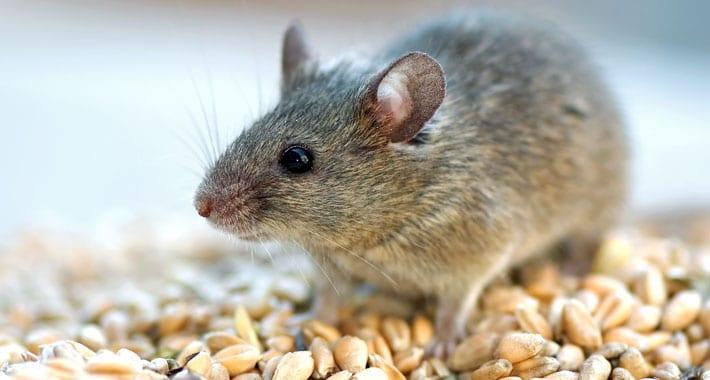 Afbeeldingsresultaat voor ratten en muizen