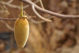 Baobab (apenbrood): De nieuwste superfruit…