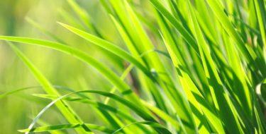 Tarwegras + tarwegrassap: de échte voordelen & nadelen