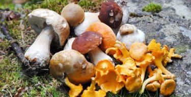 gezonde eetbare paddenstoelen