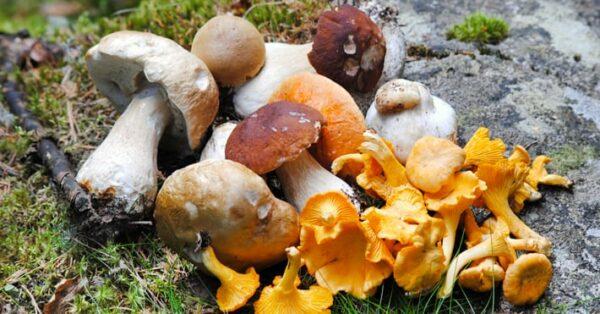 Eetbare paddenstoelen: De 10 gezondste zwammen…