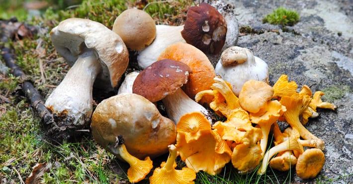 Eetbare paddenstoelen  De 10 gezondste zwammen u2026   Salusi nl