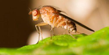 Fruitvliegjes bestrijden: beste middelen tegen fruitvlieg!