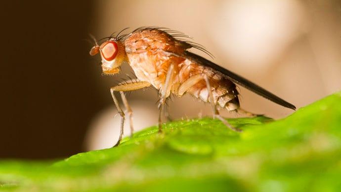 fruitvliegjes bestrijden: beste middelen tegen fruitvlieg! - gezondr.nl